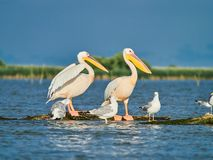 Wild Pelicans in The Danube Delta in Tulcea, Romania.  stock images
