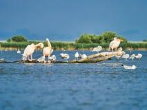 Wild Pelicans in The Danube Delta in Tulcea, Romania stock photos