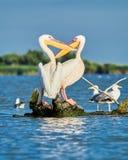 Wild Pelicans in The Danube Delta in Tulcea, Romania stock image