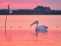 Wild Pelicans in The Danube Delta in Tulcea, Romania.  royalty free stock images