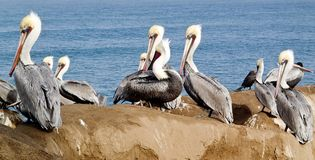 Wild Pelicans on an Ocean overlook royalty free stock photo