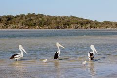 Wild pelicans and seagulls in Bremer Bay, Western Australia Stock Photos