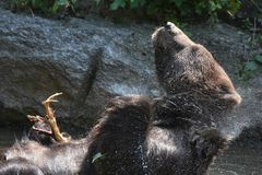 Peninsular grizzly shaking off water from it`s fur Royalty Free Stock Photos