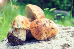 Wild Penny buns (Boletus Mushrooms) in the forest Royalty Free Stock Photography