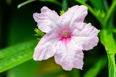Wild penucias, Ruellia squarrosa (Fenzi) Cufod. Royalty Free Stock Images