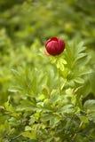 Wild peony flower Stock Photography