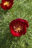Wild peony flower Stock Images