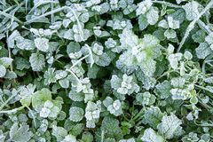 Wild peppermint covered with white hoar frost and ice crystal formation. Winter nature background stock photo