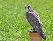 Wild peregrine falcon Stock Image