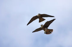 Wild Peregrine Falcons Flying