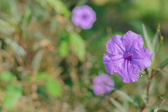 Wild Petunia Flower Royalty Free Stock Image