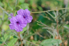 Wild Petunia Flower Royalty Free Stock Photo