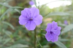 Wild petunias Ruellia squarrosa Fenzi Cufod, ruellias  purple color flower on tree. Wild petunias Ruellia squarrosa Fenzi Cufod, ruellias  purple color flower Stock Photography