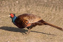 Wild pheasant. Looking for food stock photo