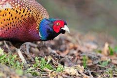 Wild pheasant Stock Photos