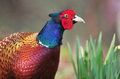 Wild pheasant Royalty Free Stock Photos