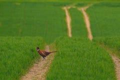 Wild pheasant Royalty Free Stock Image