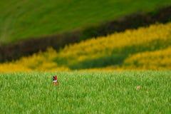 Wild pheasant Royalty Free Stock Images