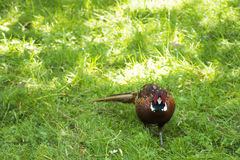 Wild pheasant. On the grass royalty free stock photo