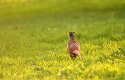 Wild pheasant in a lawn lit by warm evening light Stock Photos