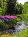 Wild Phlox and Marsh. This image was taken in a rural area near the Kalispell airport in NW Montana Royalty Free Stock Photo