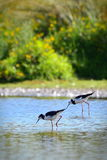 Wild Pied Stilt Poaka at Travis Wetland Nature Heritage Park in New Zealand Stock Image