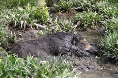 Wild Pig. A wild pig rolling in mud and loving it Royalty Free Stock Photos