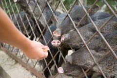 Wild pig. Big fur animal Royalty Free Stock Photos