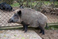 Wild pig. Big fur animal Stock Photo