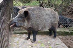 Wild pig. Big fur animal Stock Photography