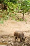 wild pig Arkivfoto