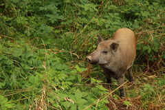 Wild pig. On the grass royalty free stock image