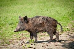 Wild pig. Picture, mammal, big animal Stock Photo