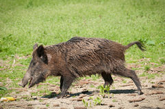 Wild pig Stock Photos