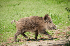 Wild pig. Picture, mammal, big animal Stock Photography