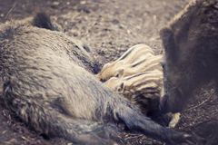wild pig Fotografering för Bildbyråer