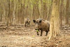 Wild Pig Stock Photography