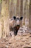 Wild Pig Stock Image