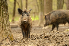 Wild Pig. Wild wild Boar in-field Royalty Free Stock Photo
