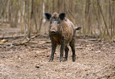 Wild Pig. Wild wild Boar in-field Royalty Free Stock Photography