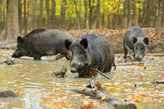 Wild pig Royalty Free Stock Images