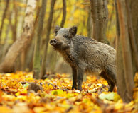 Wild pig. In the autumn forest Royalty Free Stock Photo
