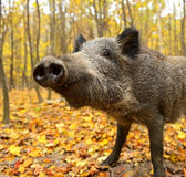 Wild pig Stock Photography