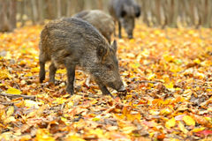 Wild pig Royalty Free Stock Photo