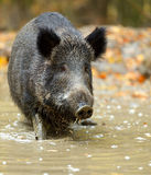 Wild pig Royalty Free Stock Image