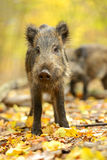Wild pig Royalty Free Stock Image