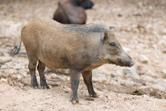 Wild Pig Stock Photo