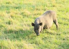 wild pig Arkivbilder