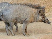 wild pig Royaltyfria Bilder