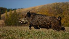 wild pig Royaltyfri Fotografi